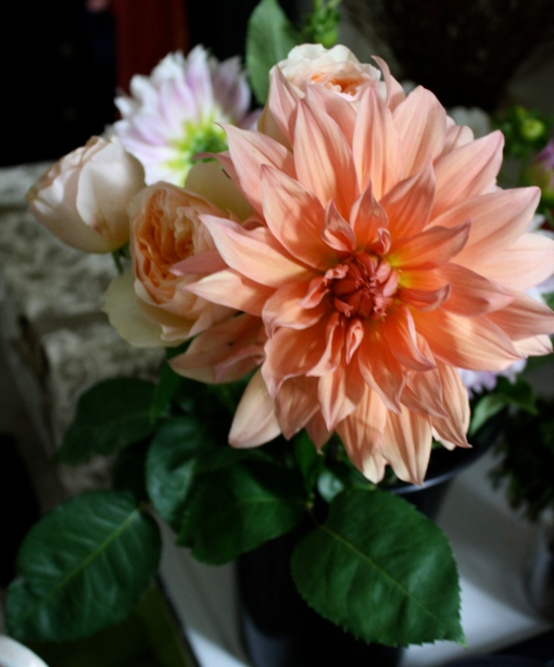 Peach Sunset Dahlia
